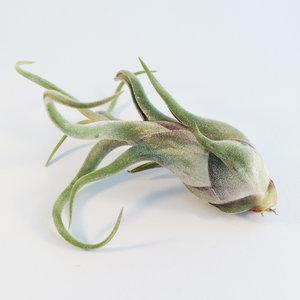 Caput Medusae - luchtplanten