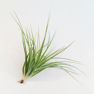 Tillandsia Stricta- luchtplantjes - planten zonder aarde
