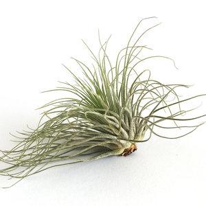 Tillandsia Magnusiana - luchtplanten - antwerpen