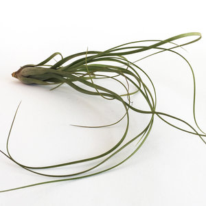 Tillandsia Balbisiana - luchtplanten - decoratie